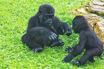 Gorilla-Jungen