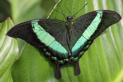 Grüngestreifter Schwalbenschwanz