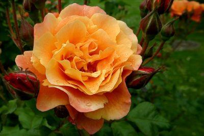 orangene Rose